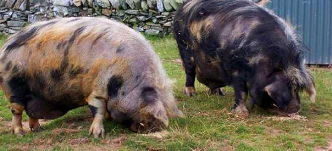 Породи свиней — ландрас, вислобрюхие, дюрок, Кармалем, мангал, великі білі, йокшір, карликові, фото з описом, відео