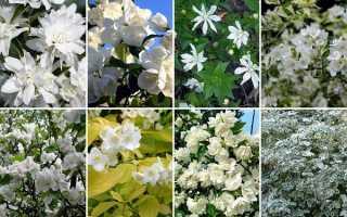 Жасмин садовий — чим відрізняється від справжнього жасмину, сорти, відео