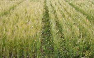 Пшениця — правила обробки від бур'янів фунгіцидами, терміни, відео