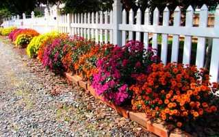Посадка хризантеми з горщика у відкритий грунт, відео