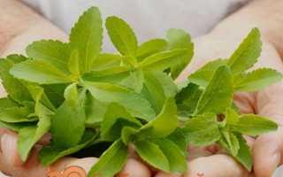 Стевія — вирощування і догляд з насіння в домашніх умовах і відкритому грунті. Корисні властивості
