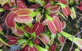 Венерина мухоловка — догляд в домашніх умовах, як виростити з насіння, зимівля, фото, відео
