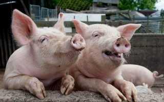 Африканська чума свиней, хвороби поросят і їх симптоми, аскаридоз, пастеррелез, трихінельоз, короста, набрякла хвороба, відео