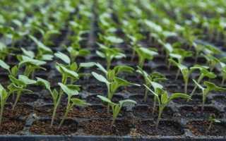Основні проблеми при вирощуванні розсади і їх рішення