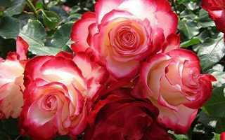 Роза Дабл Делайт — особливості сорту, посадка і догляд, відео