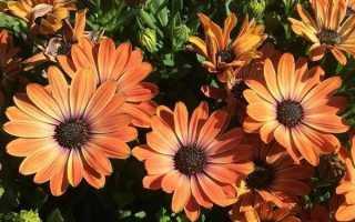 Діморфотека квітка. Опис, особливості, види і вирощування Діморфотека