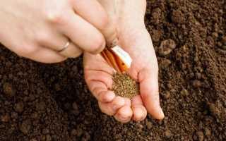 Підготовка насіння моркви до посадки навесні в землю Замочування і змив ефірних масел