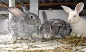 Хвороби кроликів — симптоми, лікування і профілактика кокцидіозу, міксоматозу, геморралгичеській хвороби, вушного кліща, фото, відео