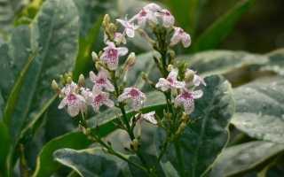 Псевдоерантемум — з сімейства стріляючих рослин. Вирощування і догляд. фото