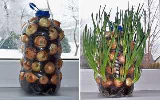 Зелена цибуля на підвіконні — способи вирощування, правила посадки та догляду, відео