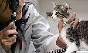 Підшкірний кліщ у кішок: лікування, симптоми