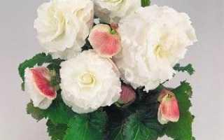 Бегонія бульбова — вирощування, посадка, розмноження