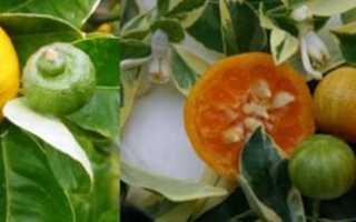 Рідкісні цитрусові рослини — апельсин, солодкий лимон, відео