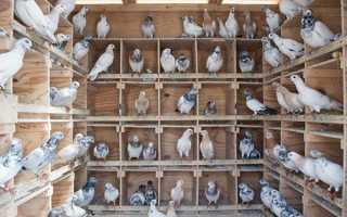 Як розводити голубів різних порід в домашніх умовах, відео