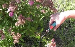 Спірея літнього цвітіння — правила і терміни обрізки, відео