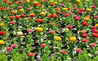 Вирощування цініі у відкритому грунті, коли садити насіння, відео