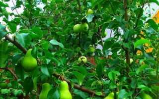Способи і час щеплення груші на яблуню, відео