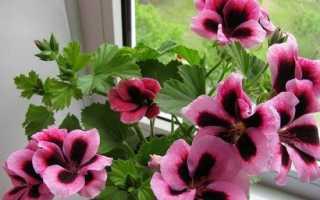 Герань. Опис і догляд за квіткою герань