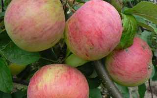 Яблуня Штрейфлинг осіннє смугасте — опис сорту, відео