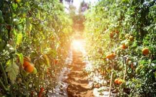 Сорти томатів, які ми рекомендуємо вирощувати в сезоні 2019