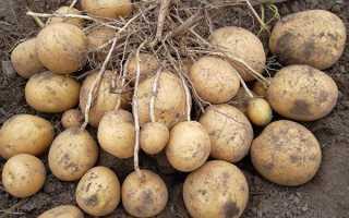 Картопля Удача — опис сорту, правила догляду, фото, відео