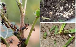 Як позбутися від садових мурашок, борна кислота, відео