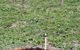 Як правильно посадити яблуню восени — покрокове керівництво