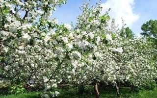 Фото популярних сортів яблунь з назвою і описом + відео
