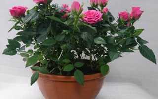 Роза Кордана квітка. Опис, особливості, види і вирощування троянди Кордана