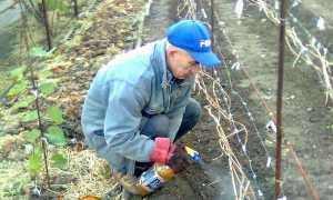Обробка винограду навесні від шкідників і хвороб народними методами, хімією, профілактика хвороб