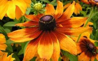 Рудбекия — золото осені. Види, сорти. фото