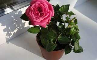Догляд за карликовою трояндою в горщику, обрізка, температурний режим, відео