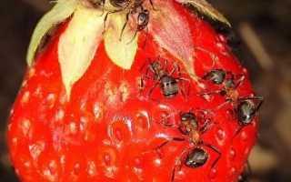 Боротьба з мурахами на дачній ділянці народними методами і не тільки