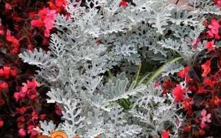 Цинерарія — вирощування з насіння, коли садити на розсаду. Сорти з фото. Посадка і догляд