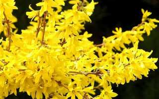 Чому не цвіте форзиція — причини, що робити для цвітіння, відео
