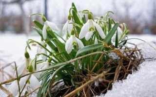 Пролісок квітка. Опис, особливості, види та захист пролісків