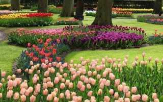 Тюльпан квітка. Вирощування тюльпанів. Догляд за тюльпанами
