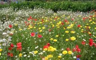 Квіти для газонів, квітучі все літо, види і сорти, відео