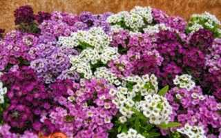 Алиссум — вирощування з насіння, коли садити на розсаду. Сорти з фото