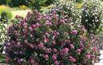 Гібіскус сірійський — посадка і догляд, вирощування з насіння в Підмосков'ї, фото, відео