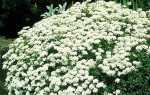 Іберіс — фото квітів багаторічного, однорічне Гібралтарської, гіркого иберис, ФІДЕ