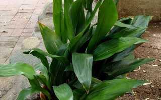 Аспидистра — батьківщина рослини, цікаві факти, що символізує, відео