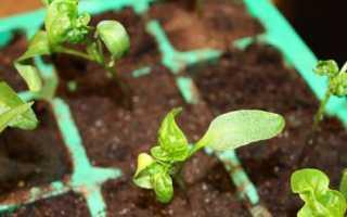 Чому у розсади перцю скручуються листя