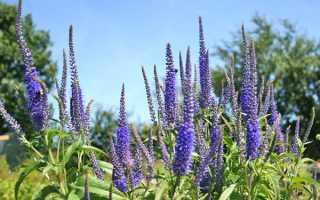 Вероніка в саду — посадка і догляд у відкритому грунті, фото, відео