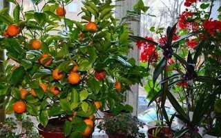 Як доглядати за мандарином, особливості плодоношення, відео