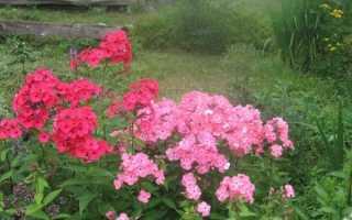 Флокси червоні та рожеві — огляд сортів, короткий опис, фото, відео