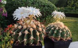 Діскокактус — найпопулярніший з квітучих кактусів. Догляд в кімнатних умовах. фото