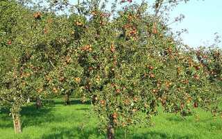 Чому у яблуні чорніють і засихають листя, що робити + відео