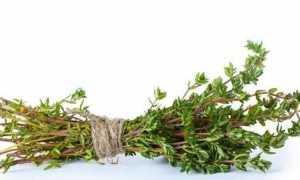 Чебрець трава. Вирощування чебрецю. Догляд за чебрецем