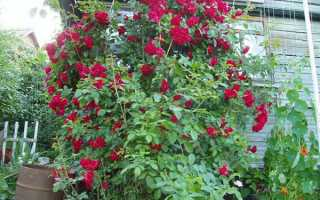 Мульчування троянд в саду — як і коли проводити, відео